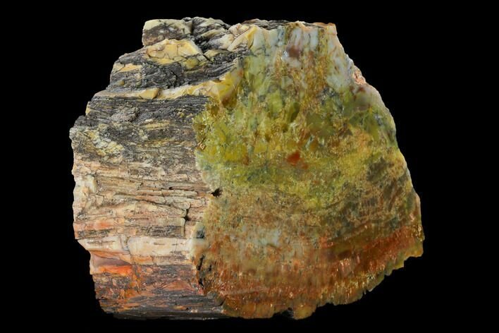 "6.6"" Colorful, Polished Petrified Wood (Araucarioxylon) - Arizona"