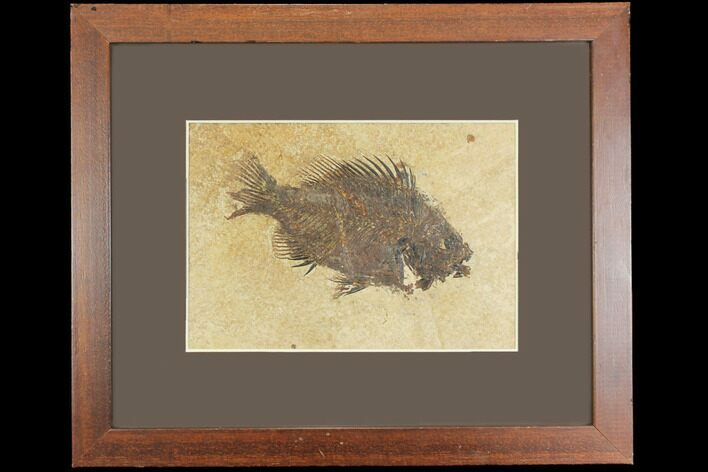 "5.1"" Framed Fossil Fish (Cockerellites) - Wyoming"