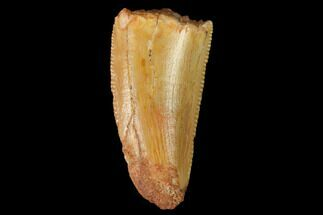 "Buy Bargain, .6"" Raptor Tooth - Real Dinosaur Tooth - #147619"