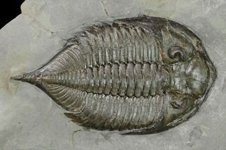 "2.2"" Dalmanites Trilobite Fossil  - New York For Sale, #147287"