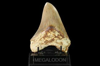 "Serrated, 5.01"" Fossil Megalodon Tooth - West Java, Indonesia For Sale, #148154"