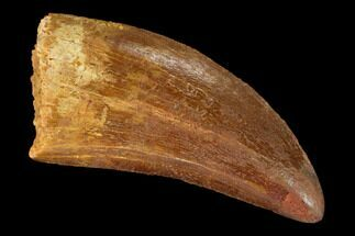 "1.62"" Carcharodontosaurus Tooth - Real Dinosaur Tooth For Sale, #145727"