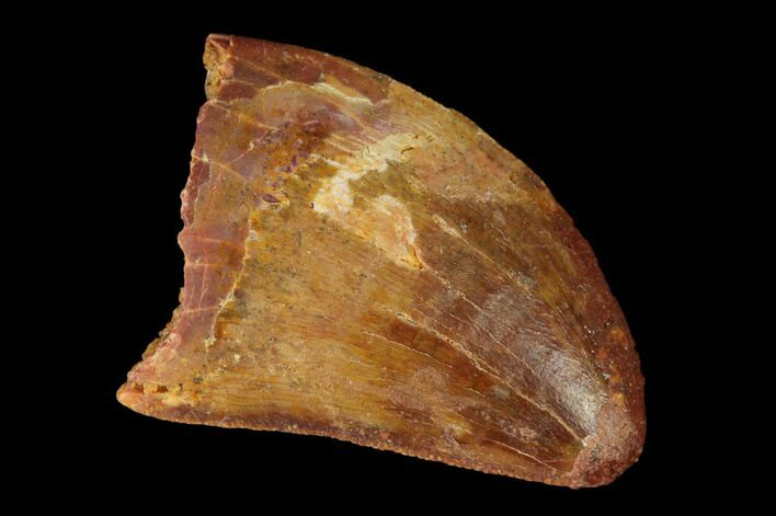 "Bargain, 1.01"" Carcharodontosaurus Tooth - Real Dinosaur Tooth"