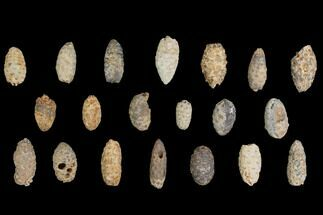Buy Lot: Fossil Seed Cones (Or Aggregate Fruits) - 20 Pieces - #148852