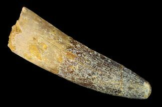 "2.2"" Spinosaurus Tooth - Real Dinosaur Tooth For Sale, #148961"