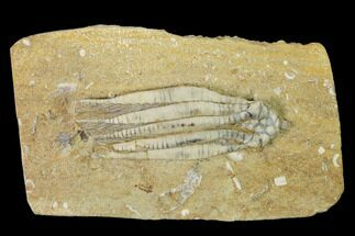 Scytalocrinus decadactylus - Fossils For Sale - #149001