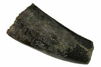 "Buy Serrated, 2.37"" Partial Tyrannosaur Tooth - Two Medicine Formation - #149113"