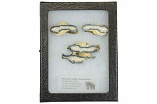 Mammoth Molar Slices In Case - South Carolina For Sale, #144356