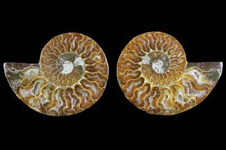 Cleoniceras - Fossils For Sale - #145821