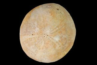 Echinolampas archiaci - Fossils For Sale - #147135