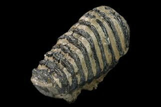 "7.3"" Southern Mammoth Upper M2 Molar - Hungary For Sale, #149783"