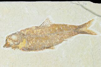 "4.3"" Fossil Fish (Knightia) - Wyoming For Sale, #149840"