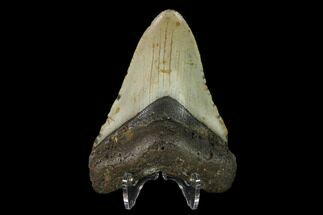Carcharocles megalodon - Fossils For Sale - #147021