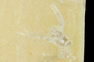 "2.2"" Cretaceous Lobster (Pseudostacus) Fossil - Lebanon For Sale, #147029"