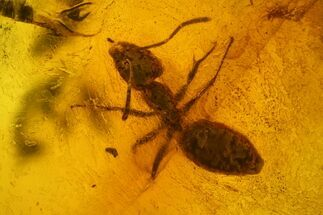 Fossil Ant (Formicidae) In Baltic Amber For Sale, #150698
