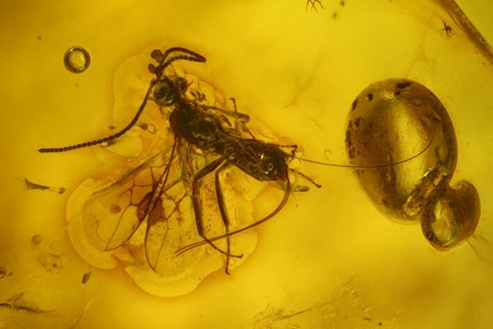 Fossil Winged Ant (Formicidae) & Fly (Diptera) In Baltic Amber