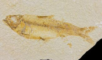 "Buy Bargain 4.1"" Fossil Fish (Knightia) - Wyoming - #150589"