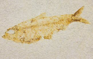"Bargain 4.4"" Fossil Fish (Knightia) - Wyoming For Sale, #150596"