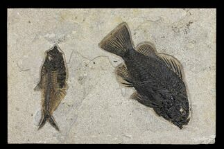 "16.8"" Priscacara & Diplomystus Fossil Fish Plate - Wyoming For Sale, #151607"