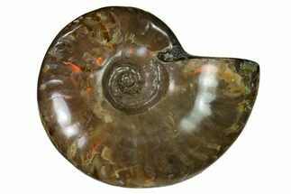 "2.2"" Red Flash Ammonite Fossil - Madagascar For Sale, #151613"
