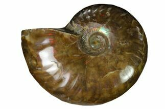 "Buy 2.35"" Red Flash Ammonite Fossil - Madagascar - #151615"