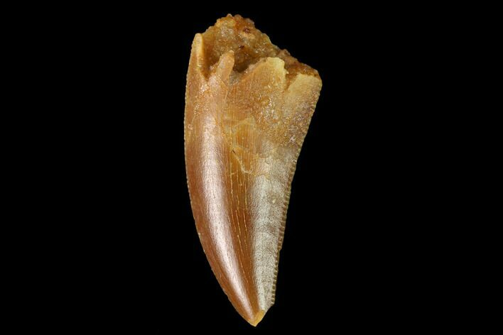 "Bargain, .8"" Raptor Tooth - Real Dinosaur Tooth"