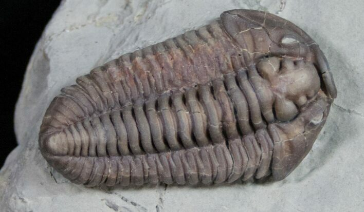 Large Flexicalymene Trilobite From Ohio - 1.45""