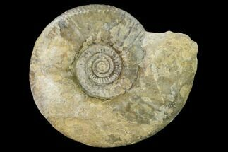"5.9"" Bathonian Ammonite (Procerites) Fossil - France For Sale, #152714"