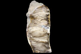 "Buy 6.8"" Polished, Petrified Dawn Redwood Stand Up - Oregon - #152392"
