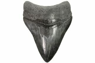 "3.7"" Fossil Megalodon Tooth - Georgia For Sale, #151514"