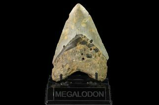 "Buy 4.87"" Fossil Megalodon Tooth - North Carolina - #147541"