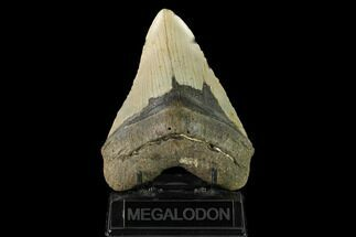 "Buy 5.51"" Fossil Megalodon Tooth - North Carolina - #147511"