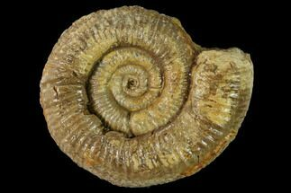 "Buy 1.9"" Callovian Ammonite (Perisphinctes) Fossil - France - #153163"