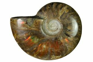 "2.55"" Red Flash Ammonite Fossil - Madagascar For Sale, #151757"
