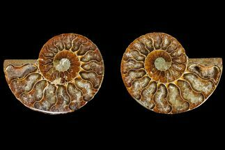 Cleoniceras - Fossils For Sale - #145980