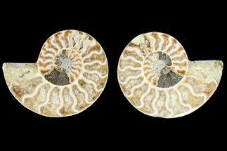 Cleoniceras - Fossils For Sale - #146235