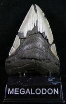 "Bargain 5.13"" Megalodon Tooth - Serrated For Sale, #10499"