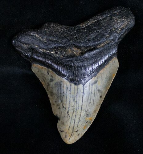 "Bargain 3.36"" Megalodon Tooth"
