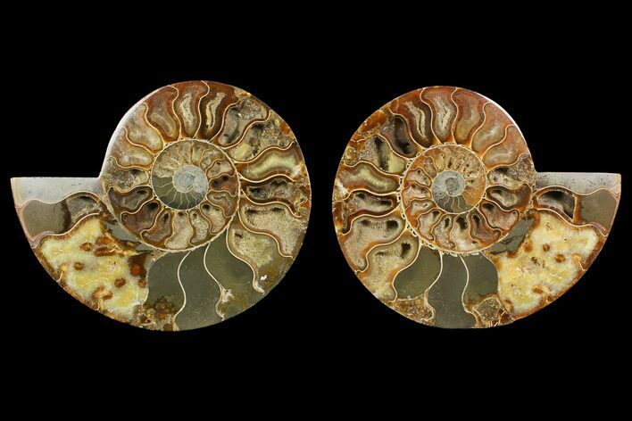 "Bargain, 6.7"" Cut & Polished Ammonite Fossil (Pair) - Madagascar"