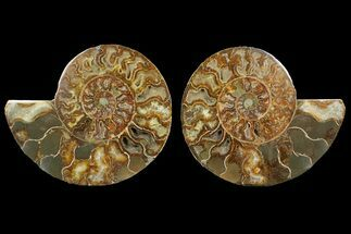 Cleoniceras - Fossils For Sale - #148065