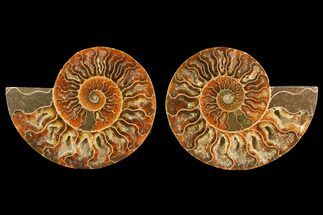 Cleoniceras - Fossils For Sale - #150894