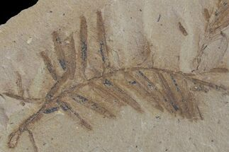 Metasequoia (Dawn Redwood) - Fossils For Sale - #153711