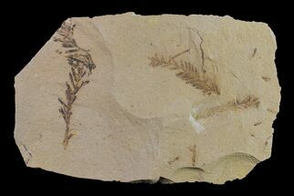 Dawn Redwood (Metasequoia) Fossil - Montana For Sale, #153722