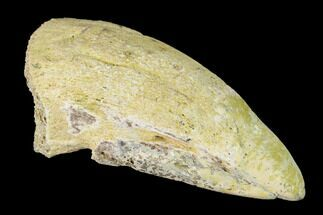 "1.42"" Fossil Pachycephalosaurus Claw - North Dakota For Sale, #153677"