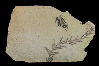 Metasequoia (Dawn Redwood) - Fossils For Sale - #153690