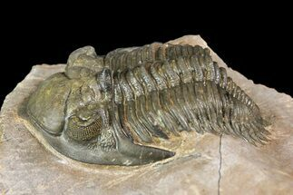 Metacanthina issoumourensis - Fossils For Sale - #153897