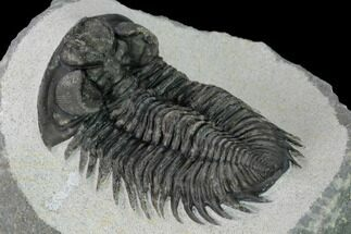 "Buy 2.8"" Coltraneia Trilobite Fossil - Huge Faceted Eyes - #153976"