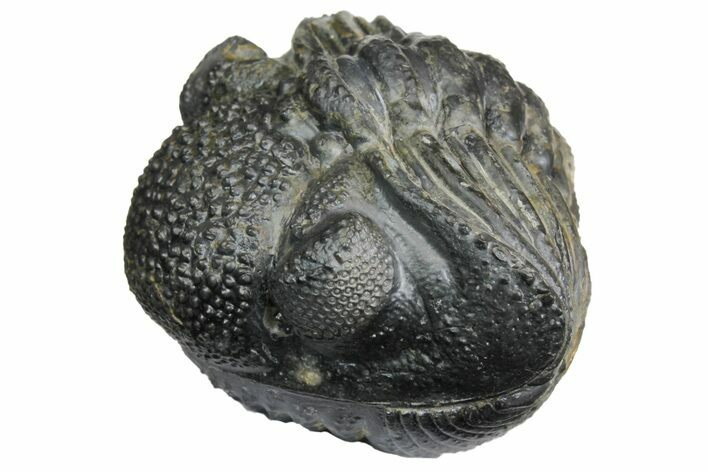 "Perfectly Enrolled Drotops Trilobite - About 4"" Around"