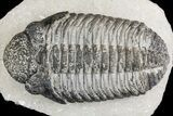 "5.15"" Drotops Trilobite With White Patina - Great Eyes! - #153964-2"