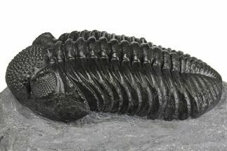 Drotops megalomanicus - Fossils For Sale - #153966